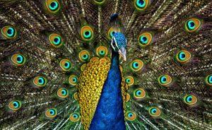 Peacock_Plumage